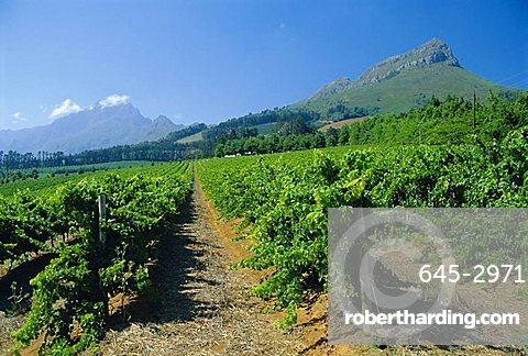 Cape Winelands near Stellenbosch, South Africa
