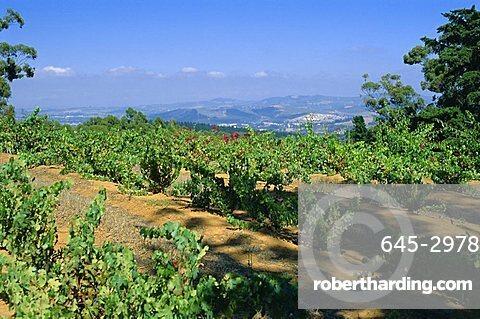 Vineyard, Stellenbosch, Cape Winelands, South Africa