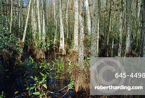 Bald Cypress Swamp in the Corkscrew Swamp Sanctuary near Naples, Florida, USA