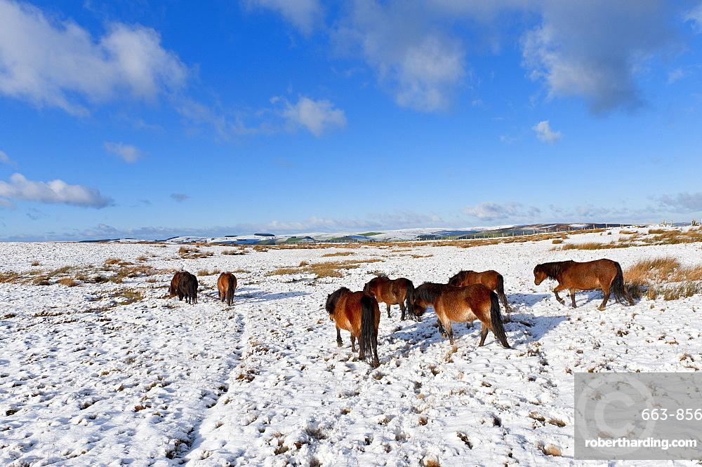 Ponies forage for food in the snow on the Mynydd Epynt moorland, Powys, Wales, United Kingdom, Europe