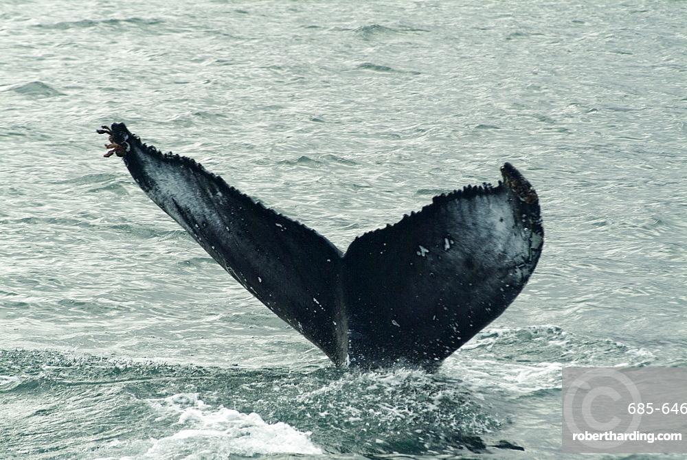 Humpback whales, Husavik, the whale capital of Europe, Iceland, Polar Regions