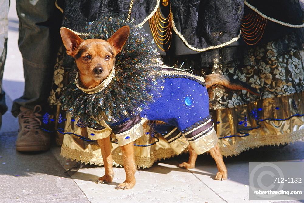 Small dog in carnival costume, Venice Carnival, Venice, Veneto, Italy