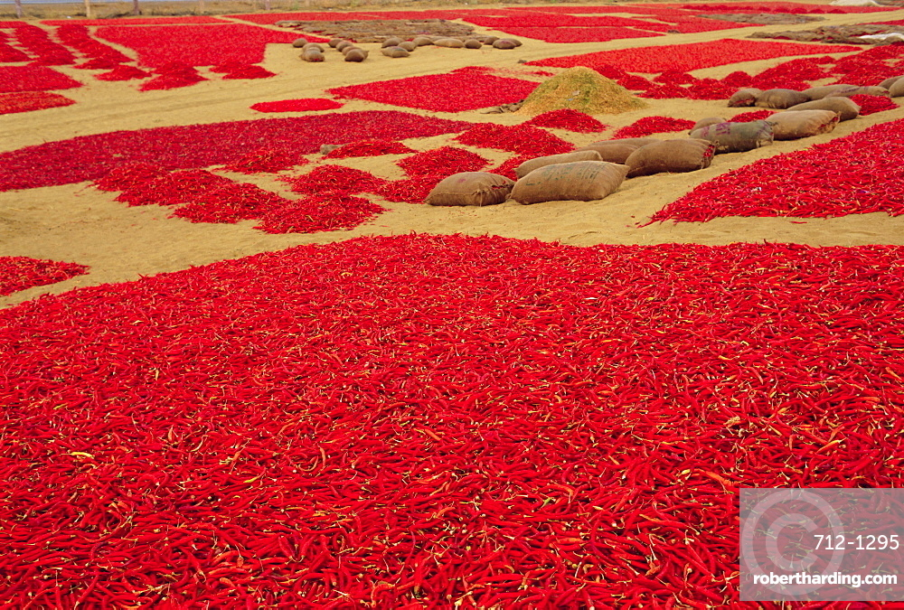 Picked red chilli peppers laid out to dry, Rajasthan, India