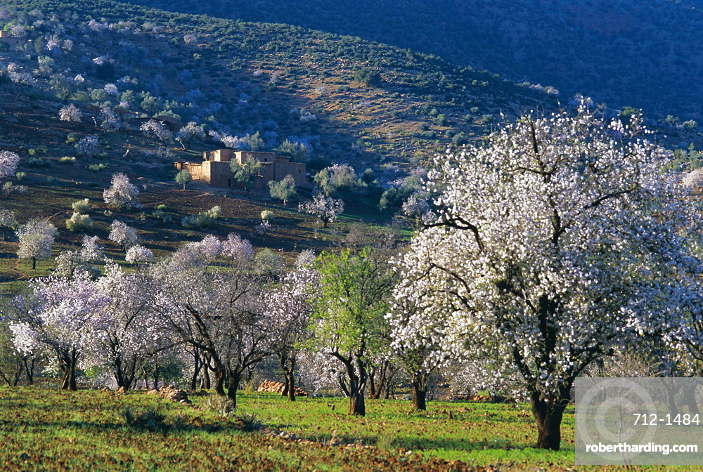 Almond trees in bloom, Haut Atlas (High Atlas), Morocco, North Africa, Africa