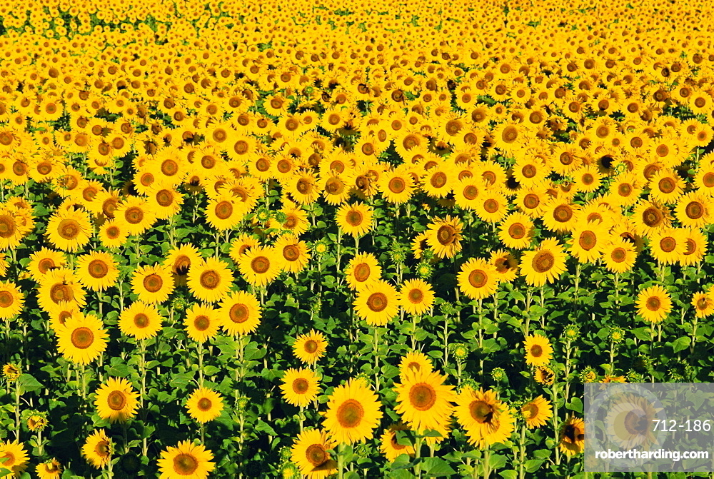 Field of sunflowers, Provence, Vaucluse, France