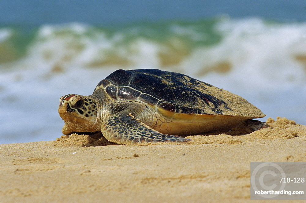 Close-up of a green sea turtle (Chelonia Mydas) coming out of the sea onto a beach, near Hat Mai Khao, Phuket Province, South Thailand, Thailand, Southeast Asia, Asia