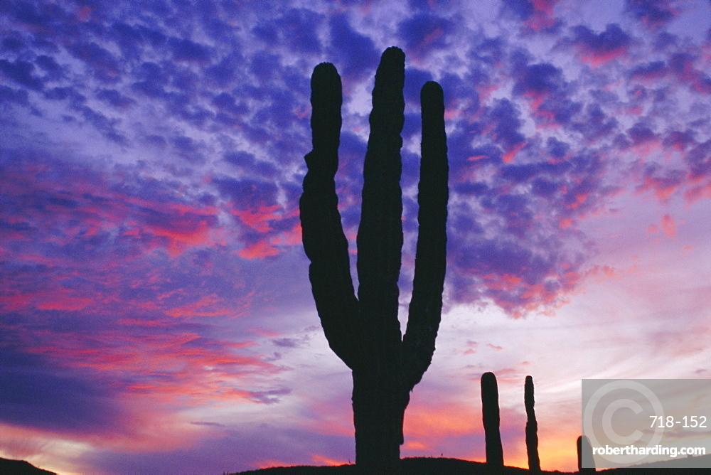 Cactus at sunset, La Paz, Mexican desert, Baja California, Mexico