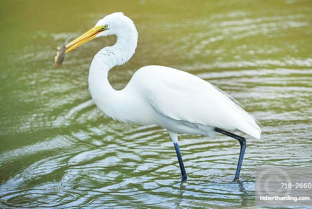Great white egret (Ardea alba) catching fish, Sanibel Island, J.N. Ding Darling National Wildlife Refuge, Florida, United States of America, North America