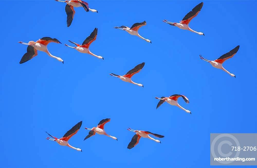 Flock of Chilean flamingoes (Phoenicopterus chilensis) in flight, Torres del Paine National Park, Chile, South America