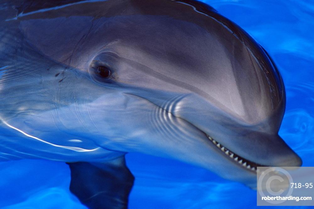 Close-up of a dolphin, Loro Parque, Puerto de la Cruz, Tenerife, Canary Islands, Spain, Europe