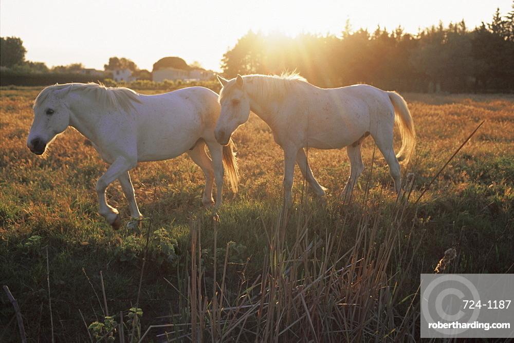 Camargue horses, La petite Camargue, in the region of Aigues-Mortes, Gard, Languedoc-Roussillon, France, Europe