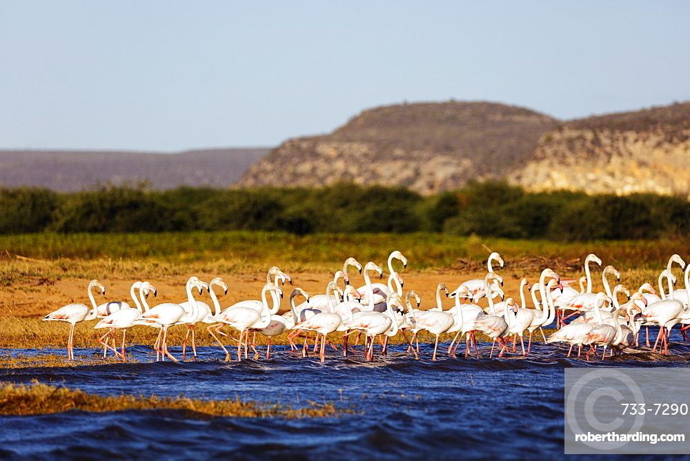 Greater flamingo (Phoenicopterus roseus), St. Augustine, southern area, Madagascar, Africa