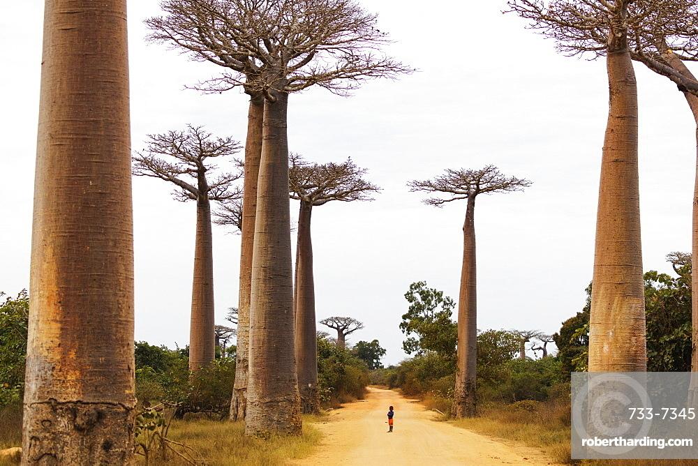 Allee de Baobab (Adansonia), western area, Madagascar, Africa