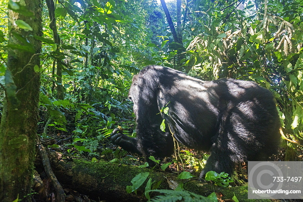 Kabukojo, dominant silver back gorilla (Gorilla gorilla beringei), Rushegura Group, Bwindi Impenetrable Forest National Park, UNESCO World Heritage Site, Buhoma, Uganda, Africa