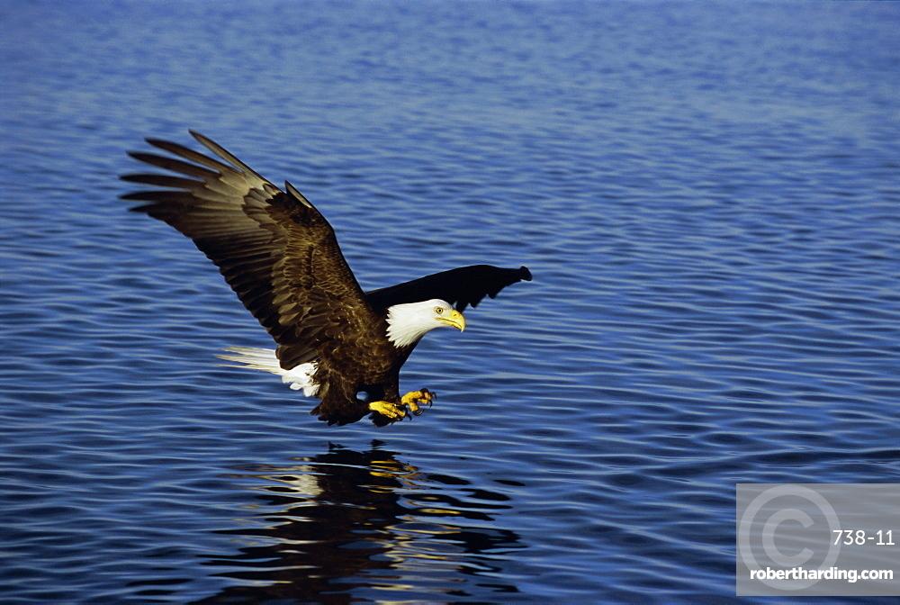 Bald eagle (Haliaetus leucocephalus) in February, Alaska, USA, North America
