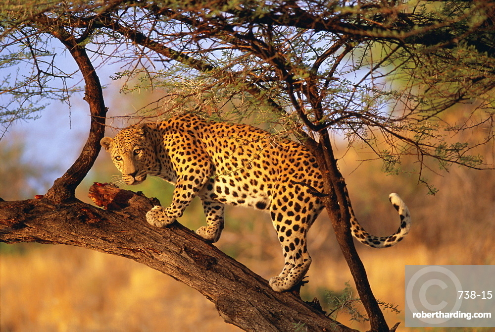 Leopard (Panthera pardus) in a tree, Namibia, Africa