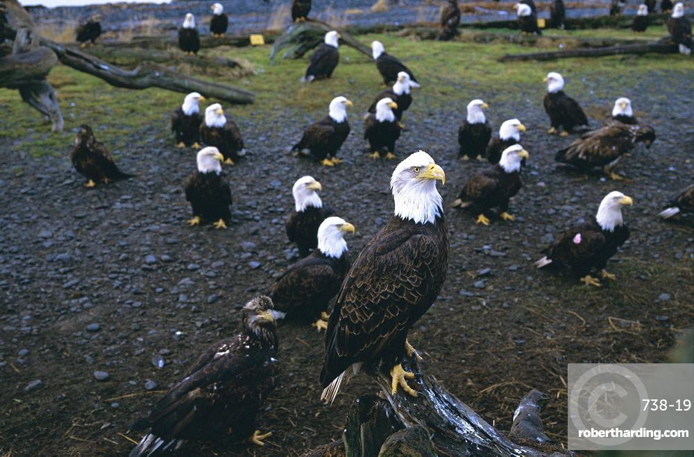 Bald eagle (Haliaetus leucocephalus) in February, Homer Spit, Alaska, USA, North America