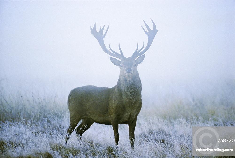 Red deer (cervus elaphus) stag at dawn during rut in September, UK, Europe