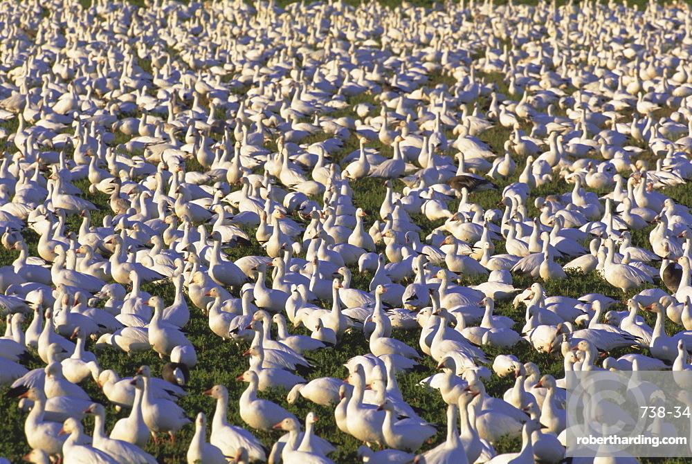 Snow geese in winter, Bosque del Apache, New Mexico, USA, North America