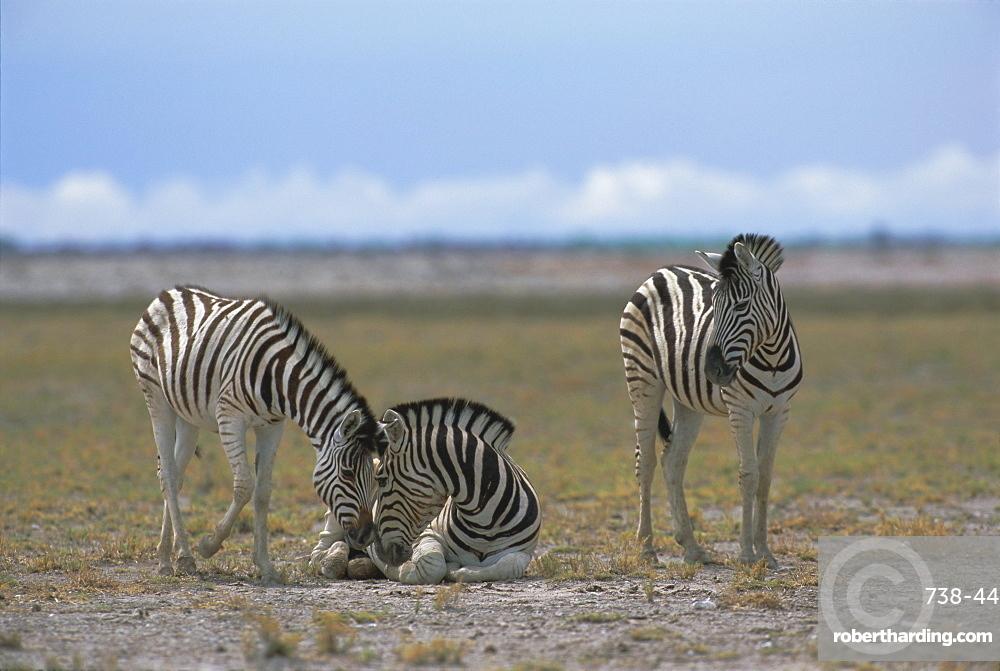 Plains zebras, Etosha National Park, Namibia, Africa