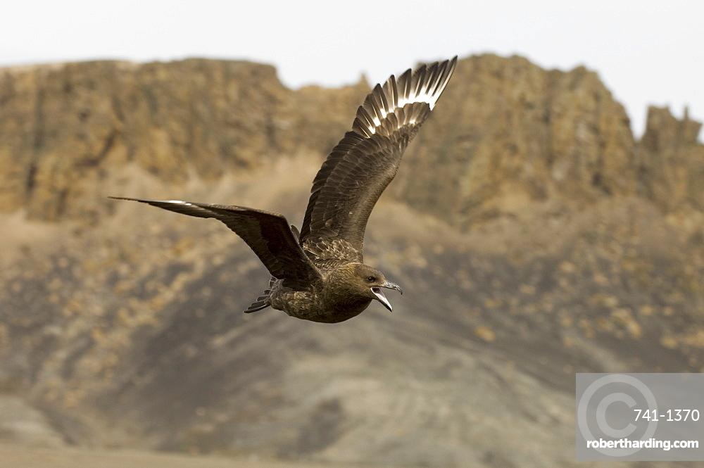 South Polar skua (Stercorarius maccormicki), Telephone Bay, Deception Island, South Shetland Islands, Antarctica, Polar Regions