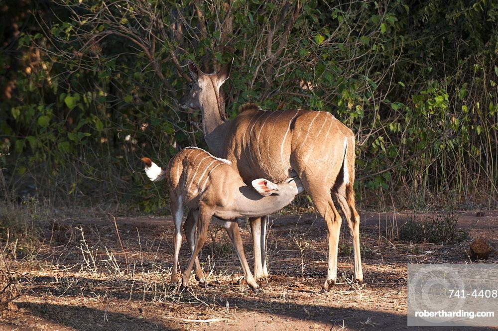 Kudu (Tragelaphus strepsiceros) and young, Chobe National Park, Botswana, Africa
