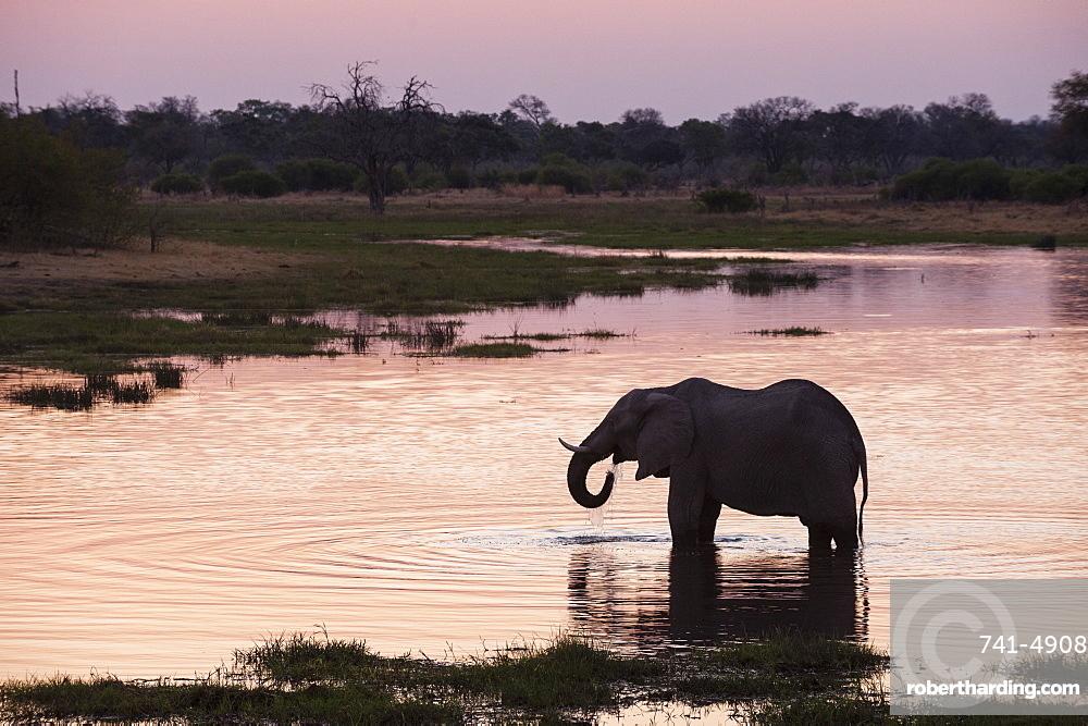 African elephant (Loxodonta africana), Khwai Concession, Okavango Delta, Botswana, Africa