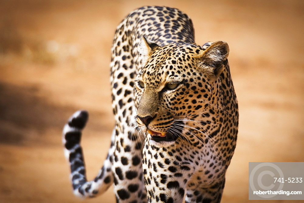 Portrait of a leopard (Panthera pardus), Samburu National Reserve, Kenya, East Africa, Africa