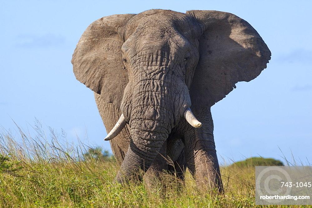 African elephant bull (Loxodonta africana), Phinda private game reserve, KwaZulu Natal, South Africa, Africa