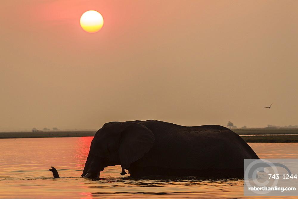 African elephant at sunset (Loxodonta africana), Chobe national park, Botswana, Africa