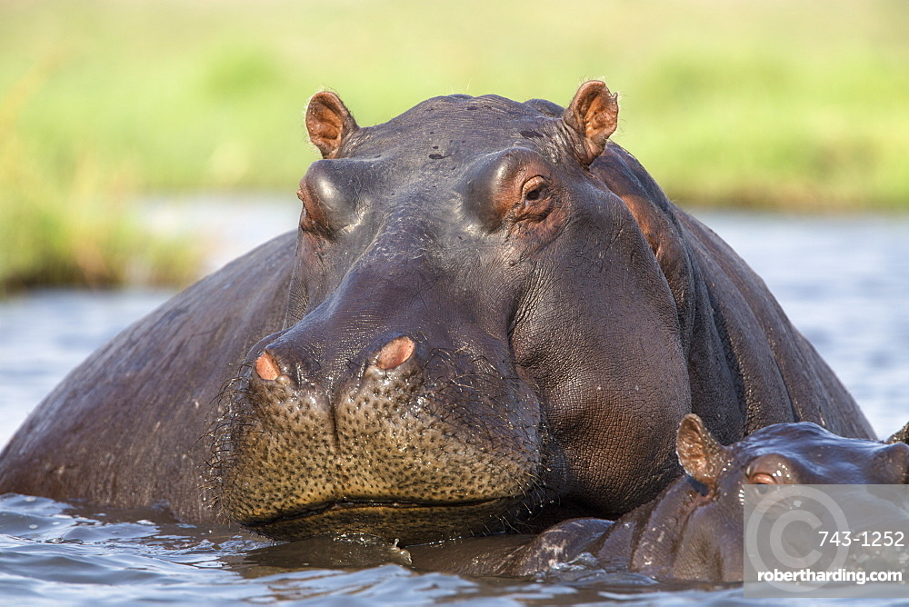 Hippopotamus (Hippopotamus amphibius) in river, Chobe National Park, Botswana, Africa