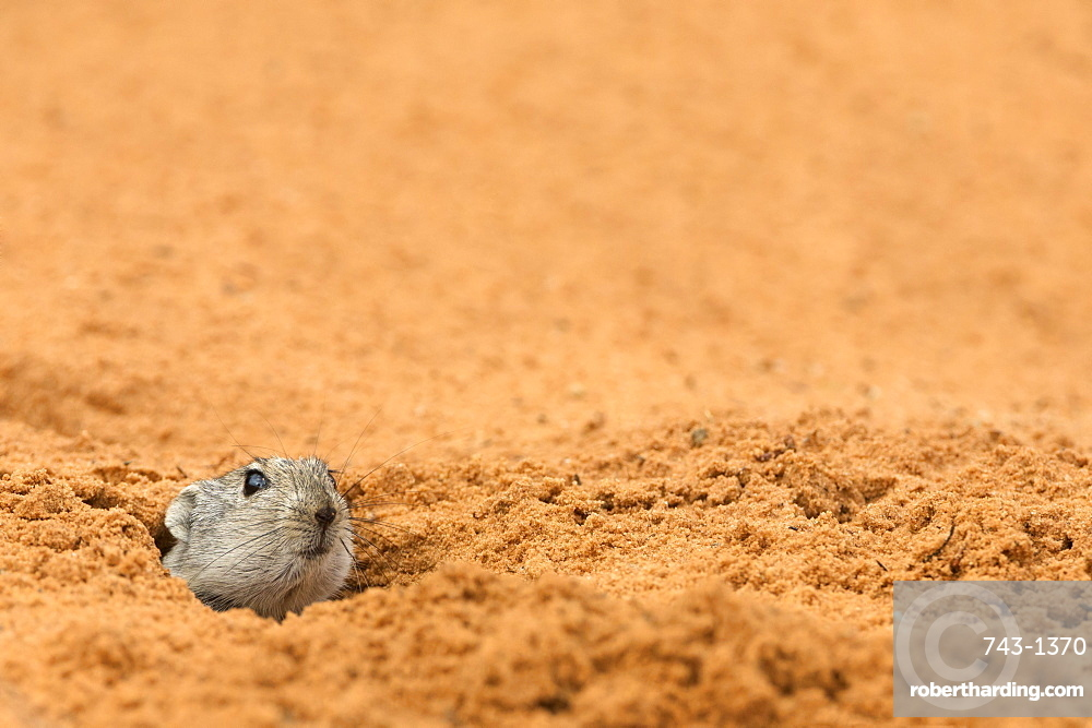 Brant's whistling rat (Parotomys brantsii) peeping out of burrow, Kgalagadi Transfrontier Park, South Africa, africa