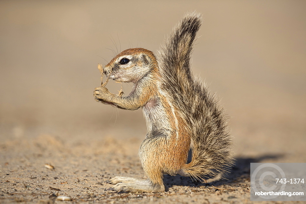 Young ground squirrel (Xerus inauris), Kgalagadi Transfrontier Park, Northern Cape, South Africa, Africa