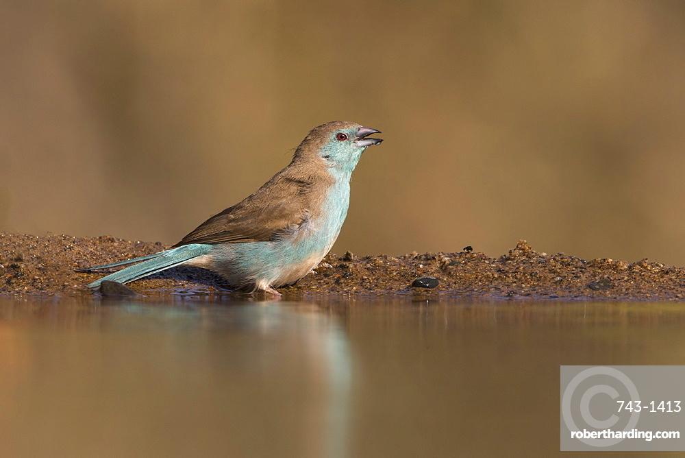 Blue waxbill (Uraeginthus angolensis), Zimanga private game reserve, KwaZulu-Natal, South Africa, Africa