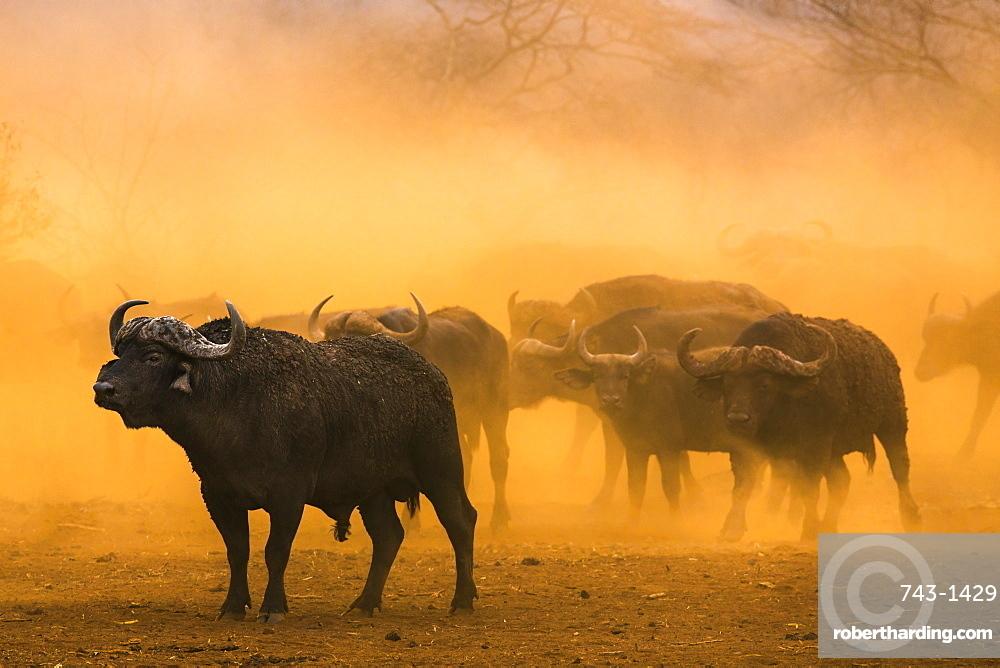 Cape buffalo (Syncerus caffer) herd, Zimanga private game reserve, KwaZulu-Natal, South Africa, Africa
