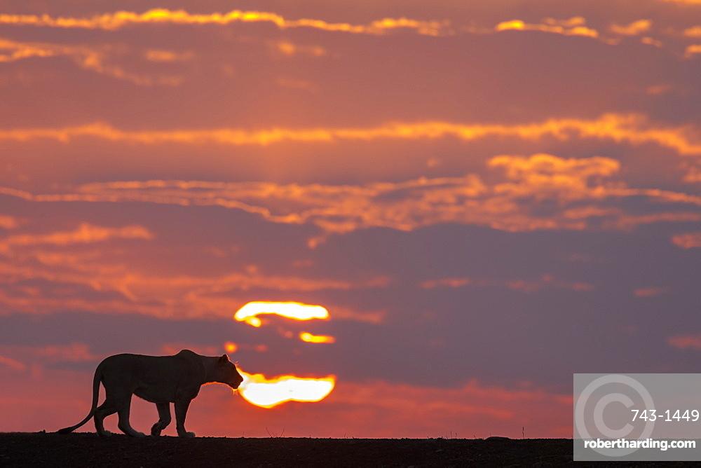 Lioness (Panthera leo) at dawn, Zimanga private game reserve, KwaZulu-Natal, South Africa, Africa
