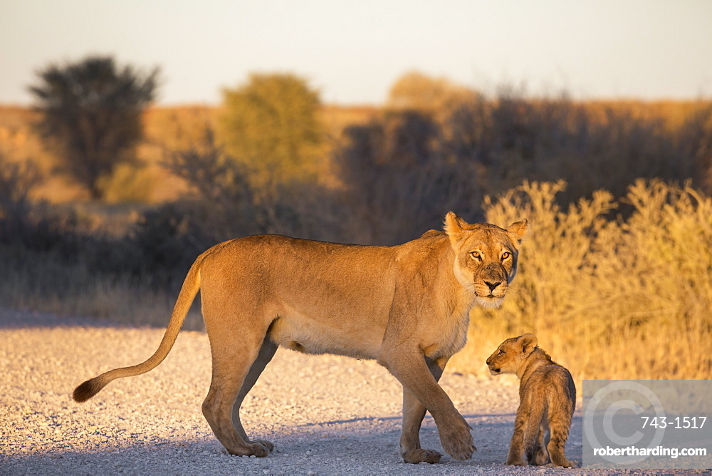 Lion (Panthera leo) with cub, Kgalagadi Transfrontier Park, Northern Cape, South Africa, Africa