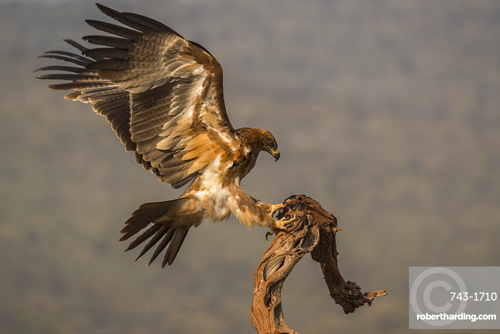 Tawny eagle, Aquila rapax,  Zimanga private game reserve, KwaZulu-Natal, South Africa