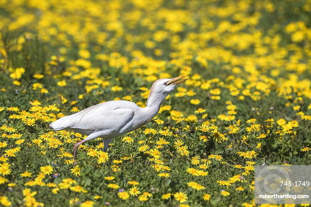 Western cattle egret, Bubulcus ibis, among spring flowers, Addo Elephant national park, Eastern Cape, South Africa