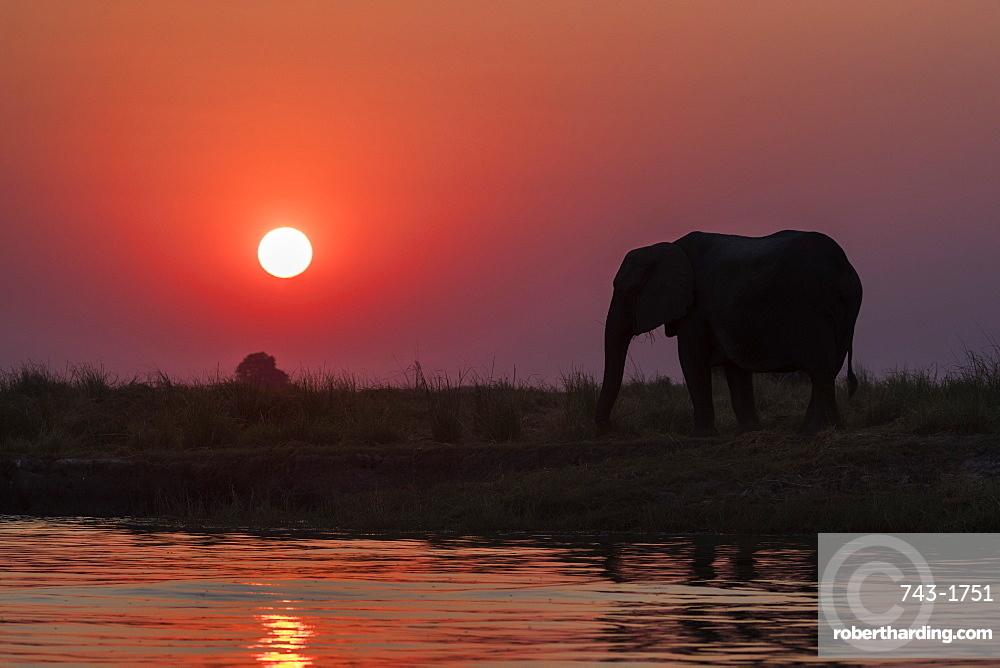 African elephants, Loxodonta africana, at sunset, Chobe river, Botswana, Southern Africa