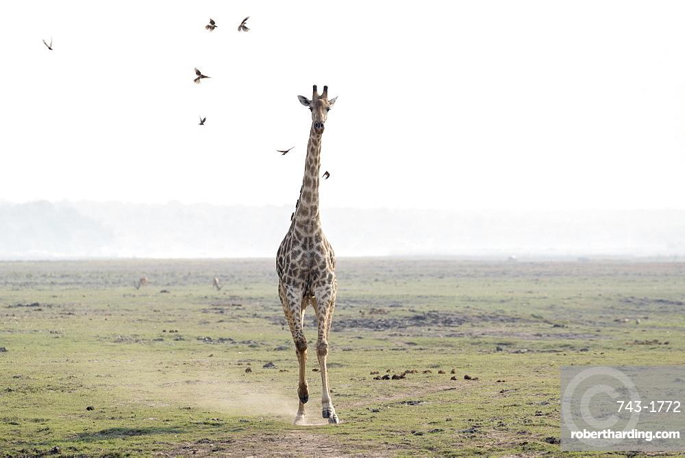 Giraffe, Giraffa camelopardalis, running, Chobe national park, Botswana, Southern Africa