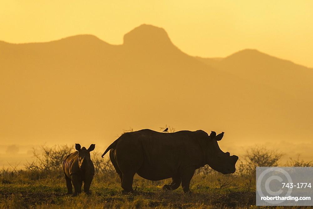 White rhino, Ceratotherium simum, calf and cow, Zimanga private game reserve, KwaZulu-Natal, South Africa