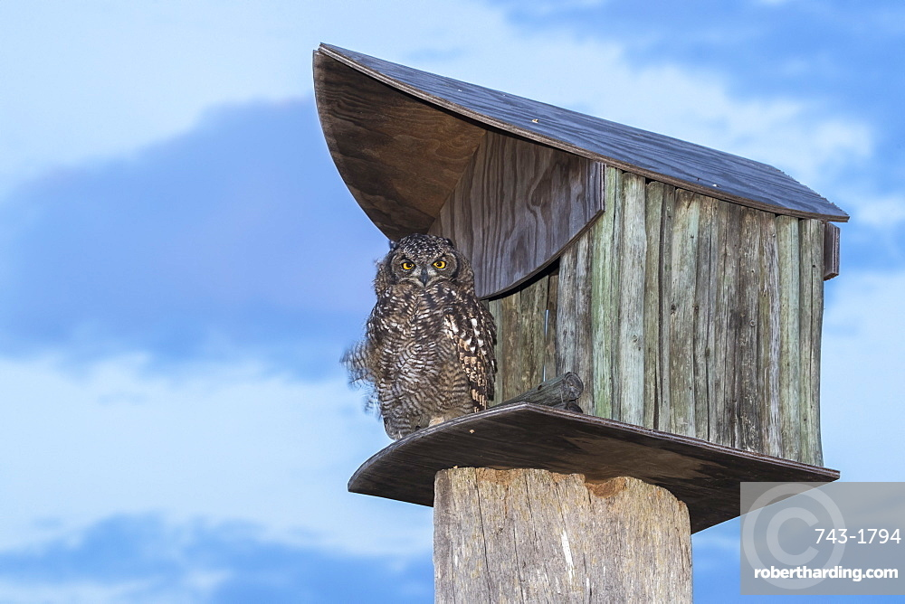 Spotted eagle owl (Bubo africanus) at nest box, Paternoster, Western Cape, South Africa, Africa