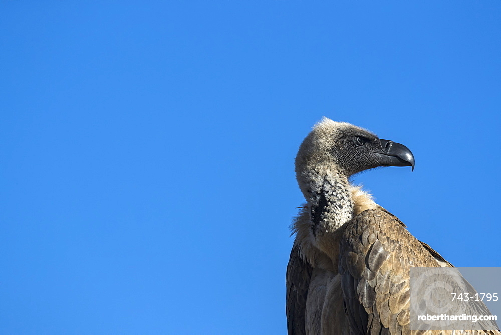 Cape vulture (Gyps coprotheres), Zimanga private game reserve, KwaZulu-Natal, South Africa