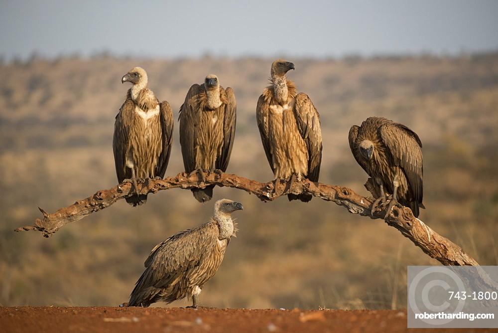 Whitebacked vultures (Gyps africanus), Zimanga private game reserve, KwaZulu-Natal, South Africa,