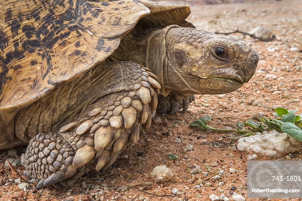 Leopard (mountain) tortoise (Stigmochelys pardalis), Kgalagadi transfrontier park, South Africa