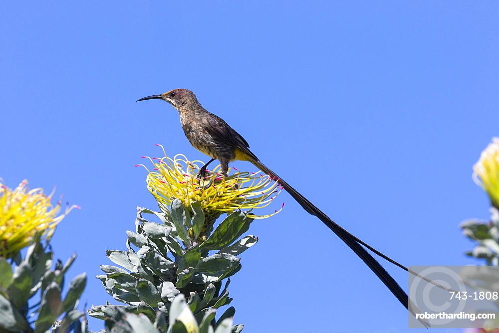 Cape sugarbird (Promerops cafer), Kirstenbosch National Botanical Garden, Cape Town, South Africa,