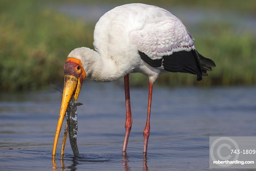 Yellow-billed stork (Mycteria ibis) with fish, Chobe national park, Botswana