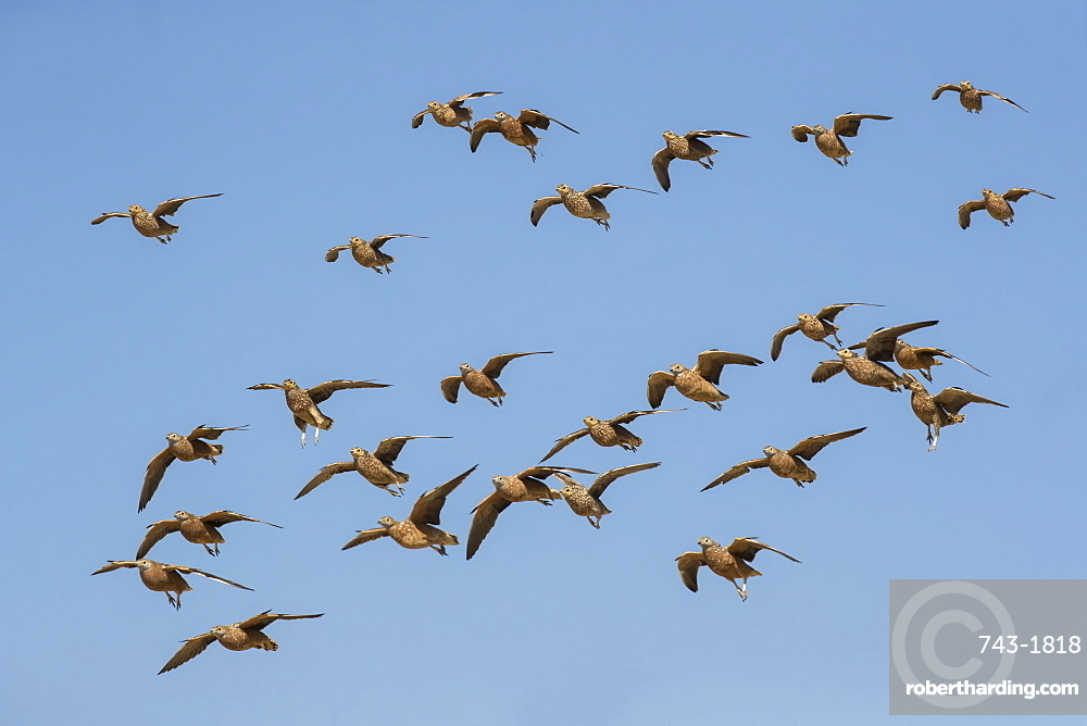 Burchell's sandgrouse (Pterocles burchelli) in flight, Kgalagadi transfrontier park, South Africa,