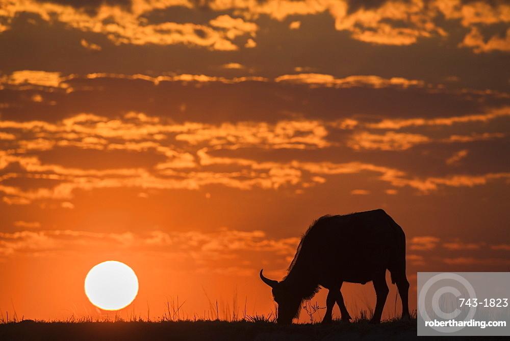 Cape buffalo (Syncerus caffer) at sunset, Chobe National Park, Botswana, Africa